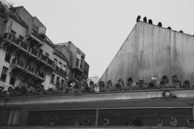 pigeons bw vintage